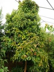 Streptosolen jamesonii Solanaceae -- Streptosolen jamesonii Solanaceae (The Marmelade Bush)