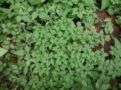 Herb robert, Geranium robertianum -- Herb robert, Geranium robertianum Global distribution: http://linnaeus.nrm.se/flora/di/gerania/geran/gerarobv.jpg