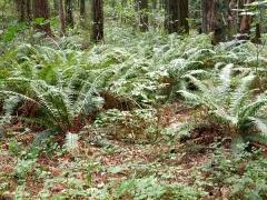 Sword fern, Polystichum munitum -- Sword fern, Polystichum munitum