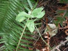 Urtica gracilis -- Urtica gracilis