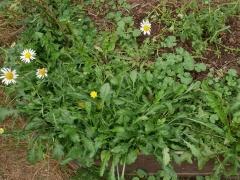 Leucanthemum vulgare, Taraxacum and Malva neglecta -- Leucanthemum vulgare, Taraxacum and Malva neglecta, all good salad plants,  in John Kallas' garden