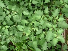 Sonchus oleraceus and Solanum nigrum -- Edible weeds Sonchus oleraceus and Solanum nigrum in John Kallas' garden