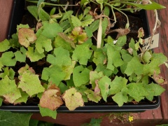 Seed propagated plants destined for the garden research plots -- Seed propagated plants destined for the garden research plots