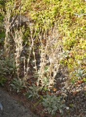 Pamela and David's garden: Lychnis coronaria -- Pamela and David's garden: Lychnis coronaria