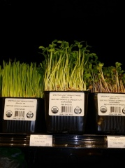 Pea, Red rose radish and wheatgrass shoots at New Seasons Market in Portland -- Pea, Red rose radish and wheatgrass shoots at New Seasons Market in Portland