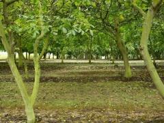 Nut trees -- Nut trees