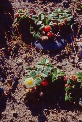 Chilean strawberry (Fragaria chiloensis) -- Chilean strawberry (Fragaria chiloensis)