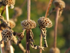Phlomis tuberosa in seed in my garden -- Phlomis tuberosa in seed in my garden