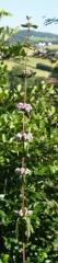 Phlomis tuberosa in my garden -- Phlomis tuberosa in my garden