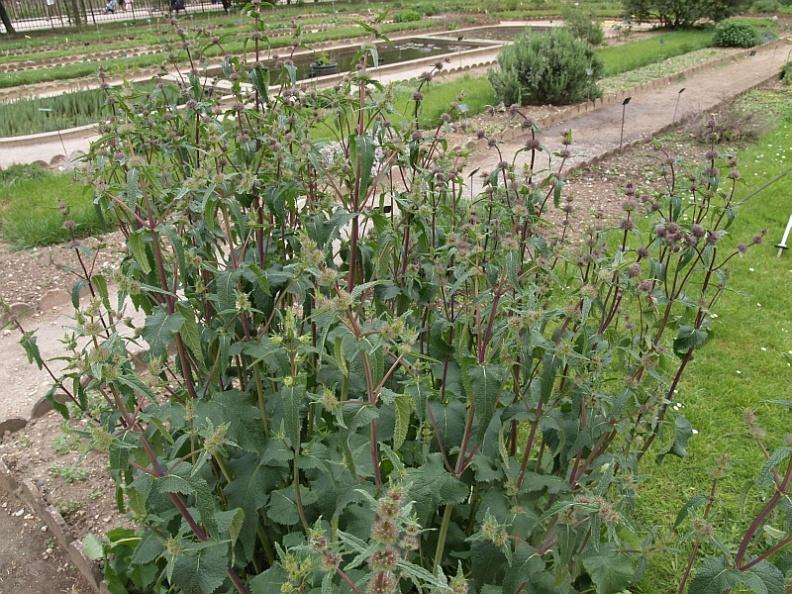 Phlomis tuberosa in paris edimentals the pictures for Jardin botanique paris