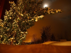 "Taxus baccata ""Hicksii"" in moonlight -- Taxus baccata ""Hicksii"" in moonlight"