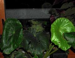 Begonia nelumbifolia  -- Begonia nelumbifolia
