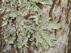 Lobaria pulmonaria, Lungenever / Tree Lungwort -- Lobaria pulmonaria, Lungenever / Tree Lungwort
