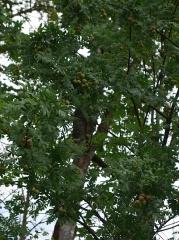 Sorbus domestica -- Sorbus domestica