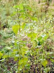 Perennial buckwheat -- Perennial buckwheat