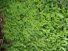Familiar edible weeds -- Some familiar edible weeds: purslane, chickwees and lady's thumb
