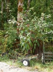 Phytolacca, pokeweed -- Phytolacca, pokeweed