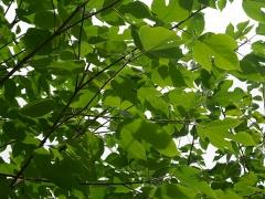Broussonettia / paper mulberry -- Broussonettia / paper mulberry