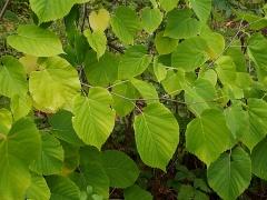 Tilia spp. -- Tilia spp.