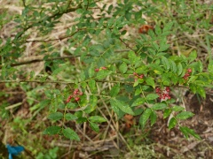 Zanthoxylum spp. -- Zanthoxylum spp.