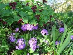 Primula denticulata and Trillium erectum are both edible -- Primula denticulata and Trillium erectum are both edible Picture by Christian Odberger