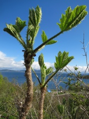 Oplopanax horridus -- Oplopanax horridus: the spring shoots are edible, but these have come too far! Picture by Christian Odberger