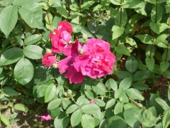 One of many roses in the parks -- Young shoots of various roses can be eaten, the flower petals used in salads and the hips used as a fruit.
