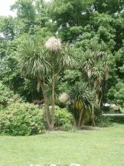 Cordyline australis, cabbage tree, ti kouka -- Cordyline australis, cabbage tree or ti kouka was a very important plant of the Maori of New Zealand, providing food, fibre and medicine..  https://en.wikipedia.org/wiki/Cordyline_australis