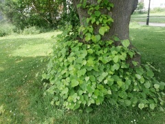 There are many lime trees (Tilia) in the park including a 150 year old lime tree avenue! Young lime leaves are an excellent mixed salad green! -- There are many lime trees (Tilia) in the park including a 150 year old lime tree avenue! Young lime leaves are an excellent mixed salad green!