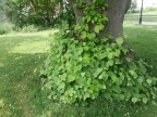 There are many lime trees (Tilia) in the park including a 150 year old lime tree avenue! Young lime leaves are an excellent mixed salad green!