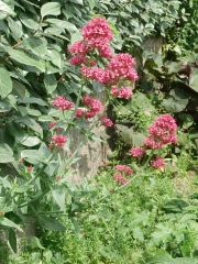 Centranthus ruber, red valerian -- Traditionally used in mixed salads in Sicily and other places across its range, the young leaves are a little bitter tasting