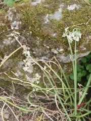 Allium triquetrum, three cornered leek in fruit -- Allium triquetrum, three cornered leek in fruit. Page 90 in Around the World in 80 plants!