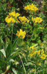 Allium moly, the golden garlic -- See my blog entry on this wonderful edimental here: http://www.edimentals.com/blog/?page_id=4842