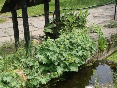 Lady's mantle, Alchemilla mollis -- Lady's mantle, Alchemilla mollis is another edimental often planted for ornament, but young leaves and flowers can be added to mixed salads and other cooked dishes! One of the ingredients of Easter Ledge Pudding...see my book!