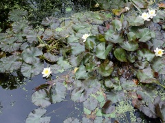 Water lilies, Nymphaea spp -- Various water lily species were traditionally used as a source of various vegetables - tubers, flower buds, seeds etc..