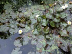 Water lilies, Nymphaea spp