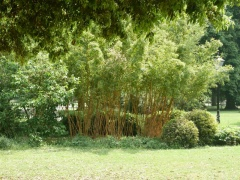 Bamboos -- There are many species of bamboo used both for food (young shoots) and fibre...
