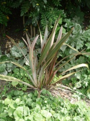 Edimental Phormium -- Honey nectar and fibre plant