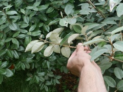 Elaeagnus spp -- Another family with edible berries. They also fix nitrogen, so good for poor soils