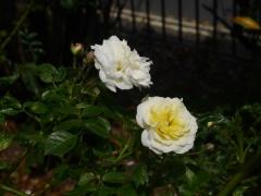 More roses -- More roses