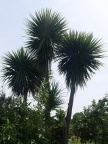 Cordyline australis again
