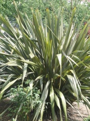 Another Phormium -- Another Phormium