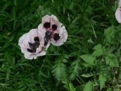 Oriental poppies  -- Oriental poppies, like opium poppies have edible seed