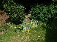 More Allium moly -- More Allium moly, the golden garlic