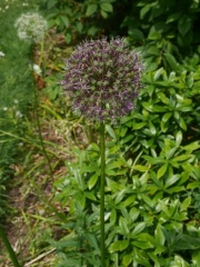 Ornamental Alliums -- Ornamental Alliums: the flowers and, for some species, the bulbs are edible