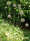 Ornamental Alliums