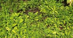 """Sage, Salvia officinalis """"Icterina"""" -- Sage, Salvia officinalis """"Icterina"""""""