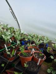Hopniss (Apios) and Crambe cordifolia -- Hopniss (Apios) and Crambe cordifolia