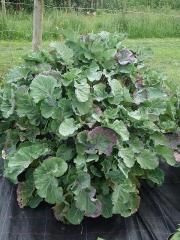 Taunton Deane Cottager's Kale -- Taunton Deane Cottager's Kale