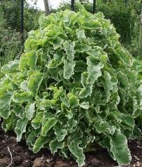Giant variegated Daubenton perennial kale mound! -- Giant variegated Daubenton perennial kale mound!